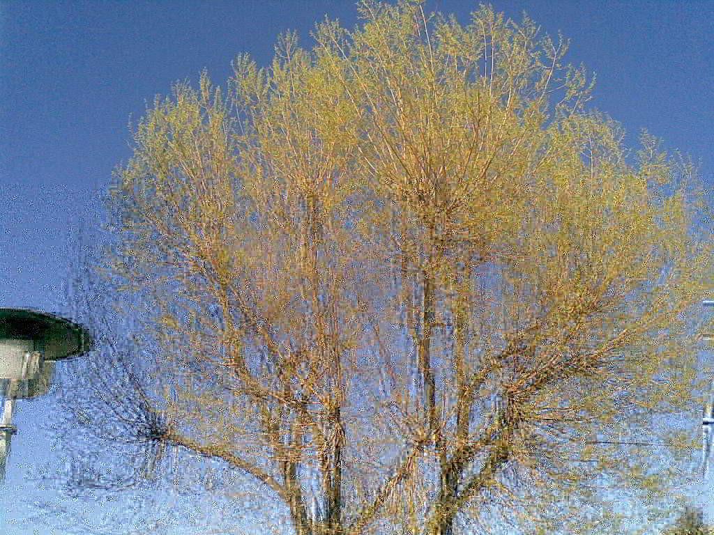 Ein blühender Baum mit blauem Himmel - (C) Henning Uhle