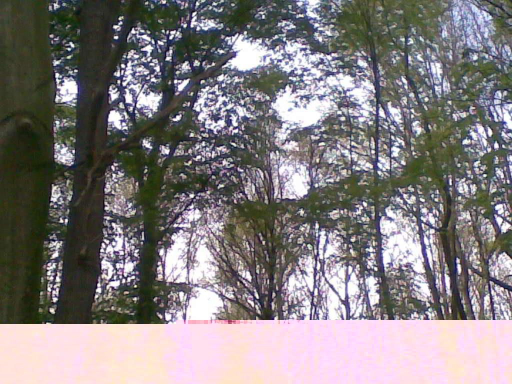 Der Wald besteht aus hohen und alten Bäumen - (C) Henning Uhle