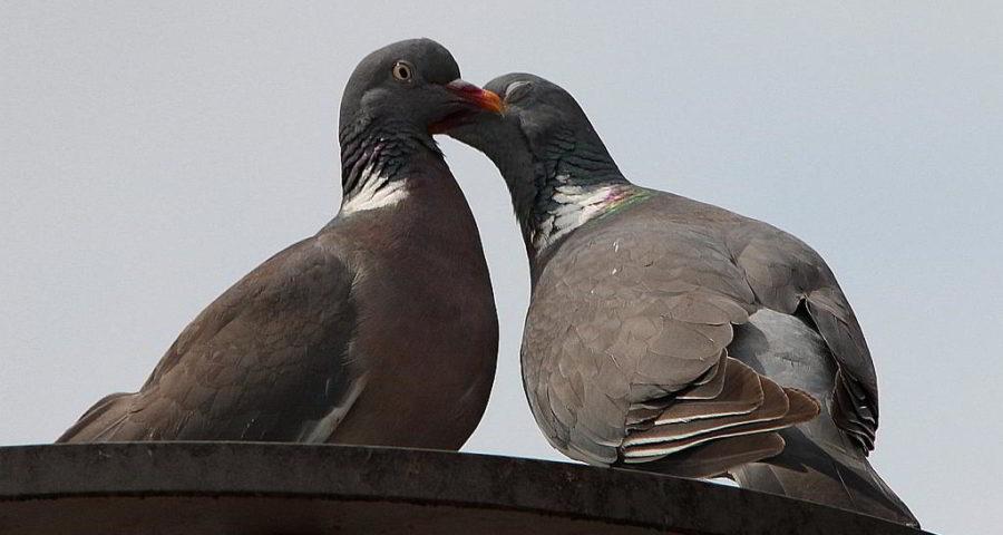 Flirtende Tauben - (C) Frauke CC0 via pixabay.de
