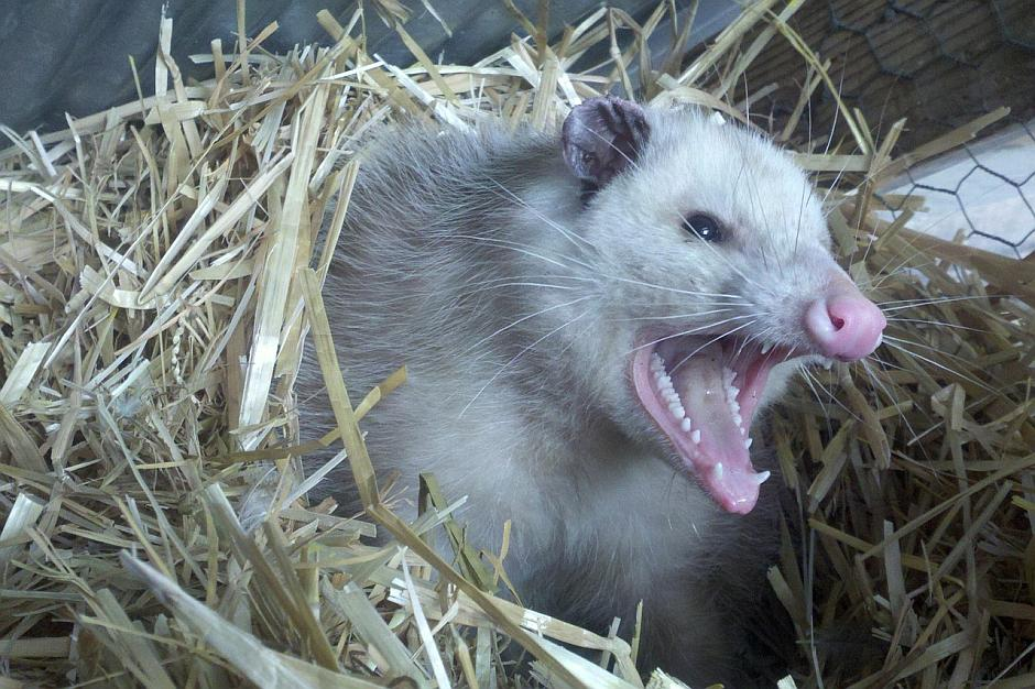 Opossum - (C) royguisinger CC0 via Pixabay.de