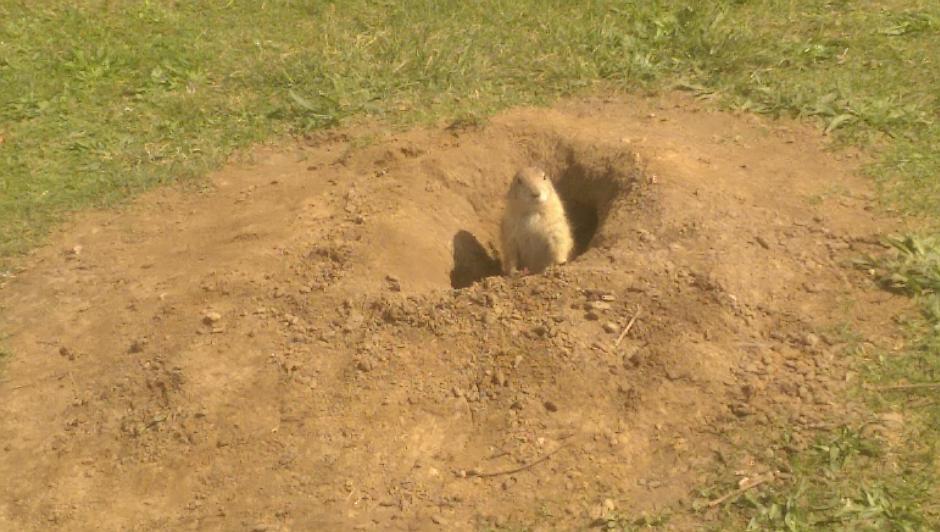 Ein Erdmännchen schaut aus seinem Bau heraus