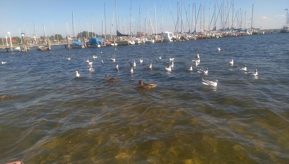 Wasservögel am Salzhaff bei Rerik