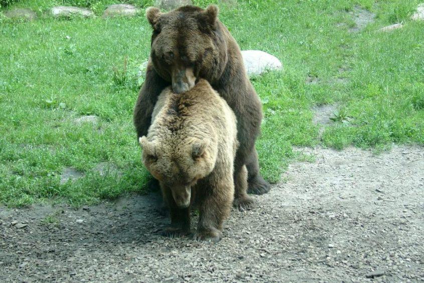 Bären-Sex - (C) cornelinux CC0 via Pixabay.de
