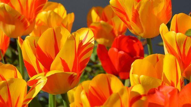 Tulpen - (C) annca CC0 via Pixabay.de
