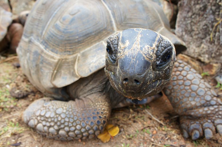 Eine alte Schildkröte auf den Seychellen - (C) Peggy_Marco CC0 via Pixabay.de