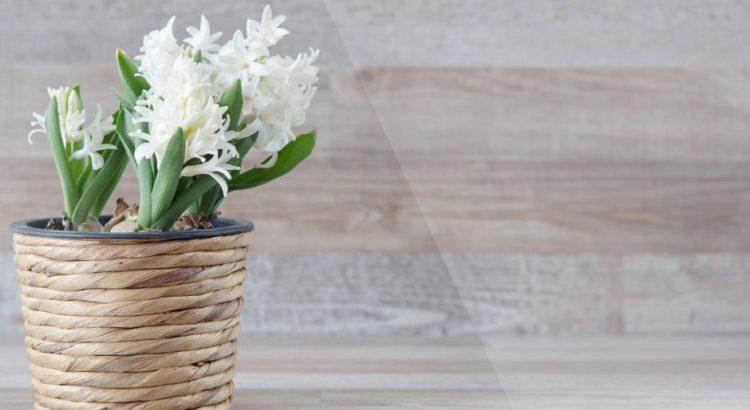 Ein Blumentopf mit einer Hyazinthe - (C) Pezibear CC0 via Pixabay.de