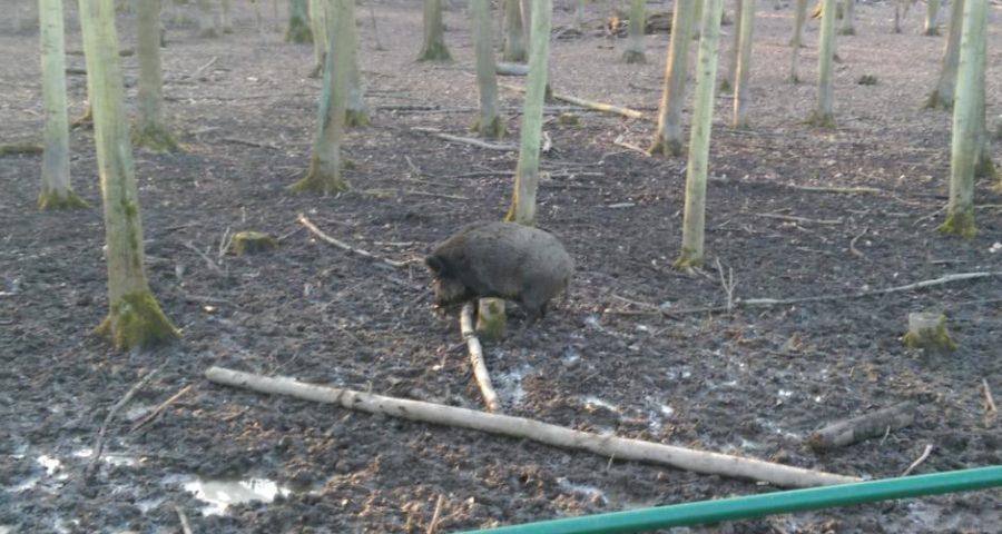 Ein Wildschwein im Wildpark Leipzig