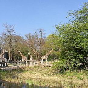 Die Giraffen des Leipziger Zoos