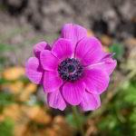 Fuchsia: Das Ende von Android ist eine Blume