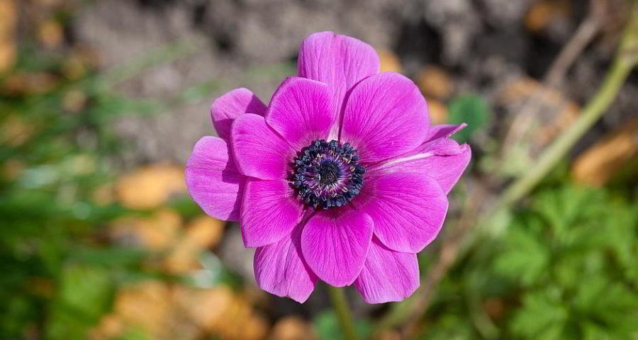 Eine Fuchsia - (C) Pezibear CC0 via Pixabay.de