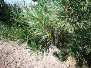 Nadelbäume bei Pouch