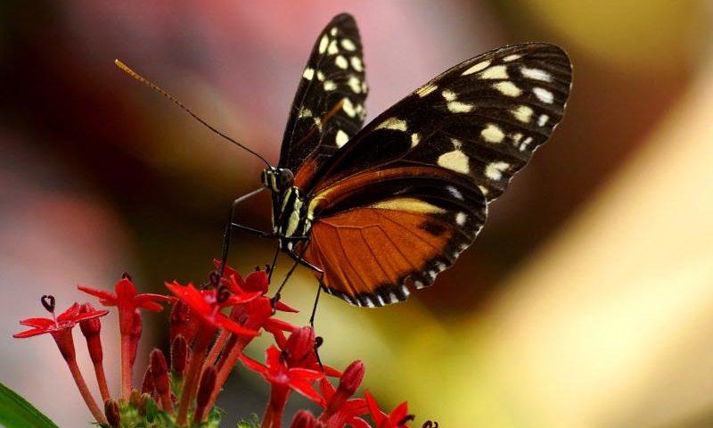 Der Schmetterling: das Caterpillar Girl von The Cure - (C) suju CC0 via Pixabay.com - https://pixabay.com/de/schmetterling-exotisch-falter-3333179/