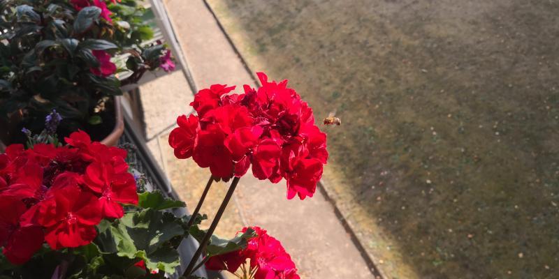 Wespen umschwirren häufig die Blumen wegen der kräftigen Farbe
