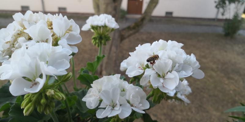 Eine Wespe trägt Beute mit sich herum und besucht eine Blume