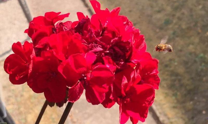 Eine Wespe im Anflug