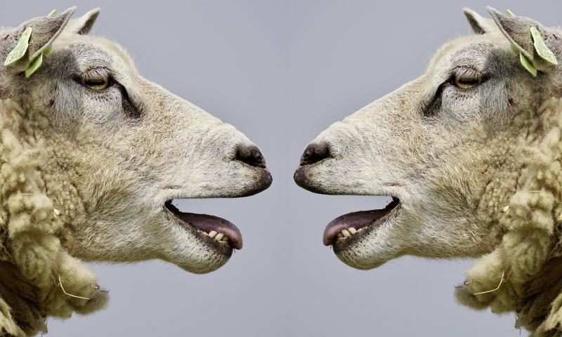 Blökende Schafe: Eine ganz normale Diskussion im Populismus - (C) suju Pixabay-Lizenz - via